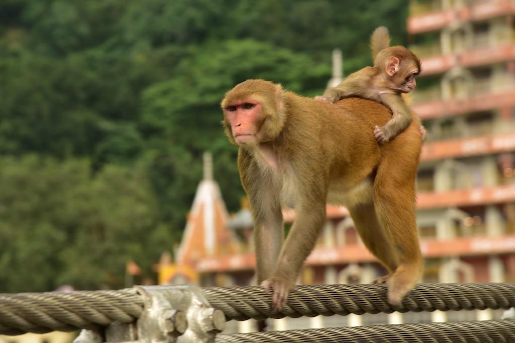 A monkey carrying its little burden across the Lakshman Jula bridge